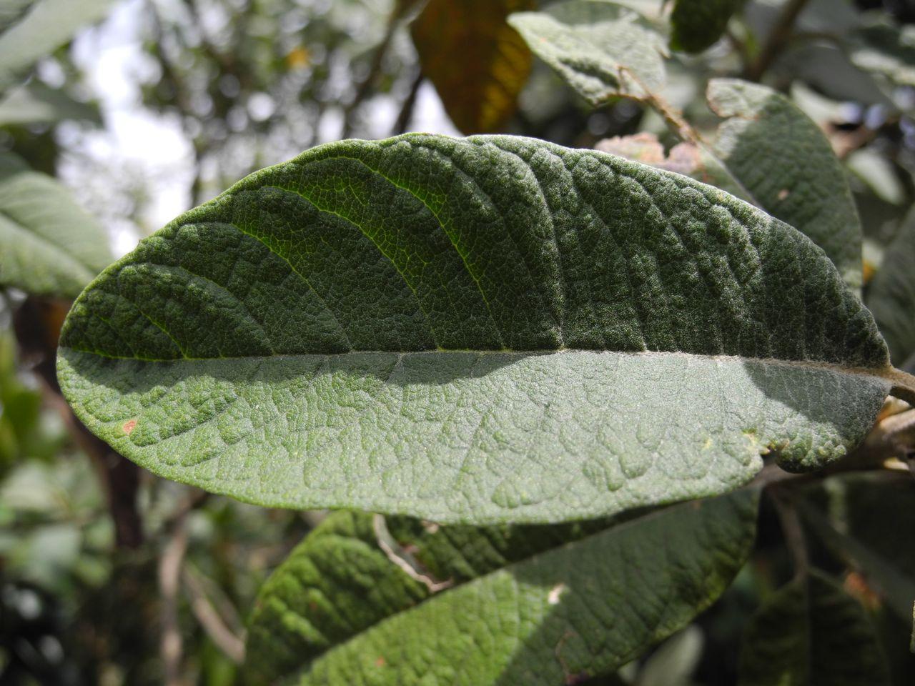 Diplostephium antioquense-13.jpg