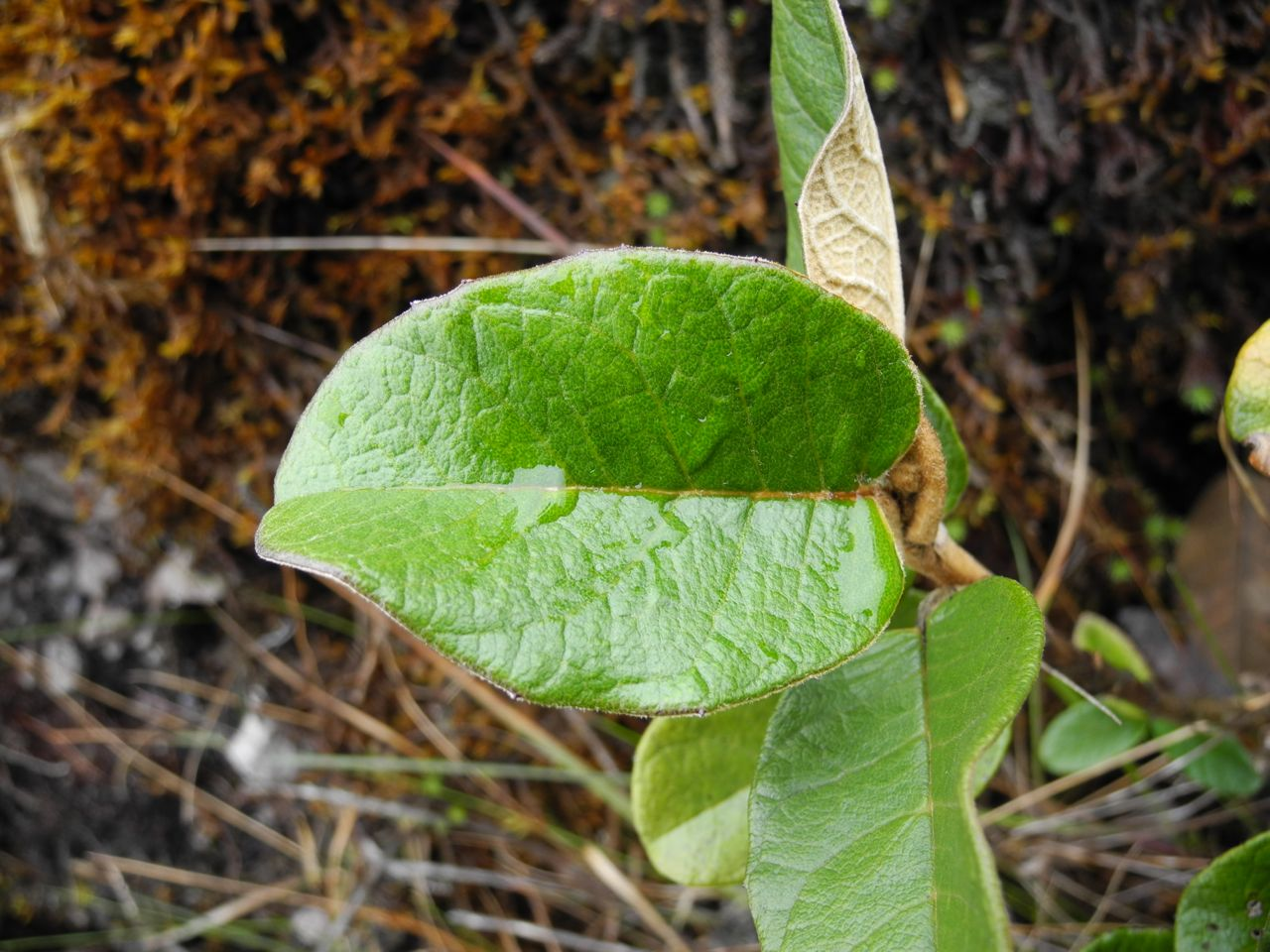 Diplostephium huertasii-2.jpg