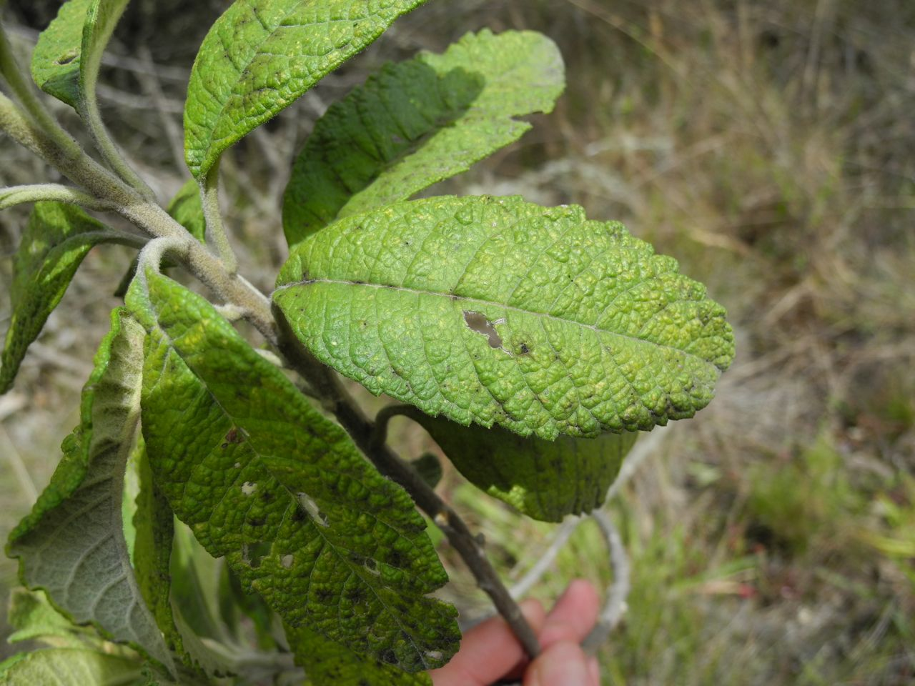 Diplostephium jenesanum-12.jpg