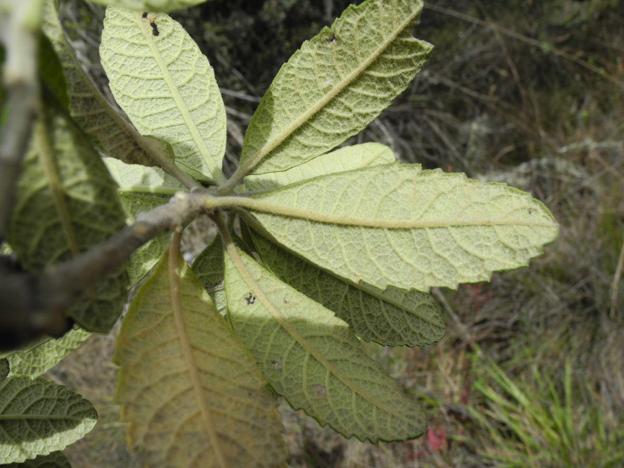 Diplostephium jenesanum-13.jpg