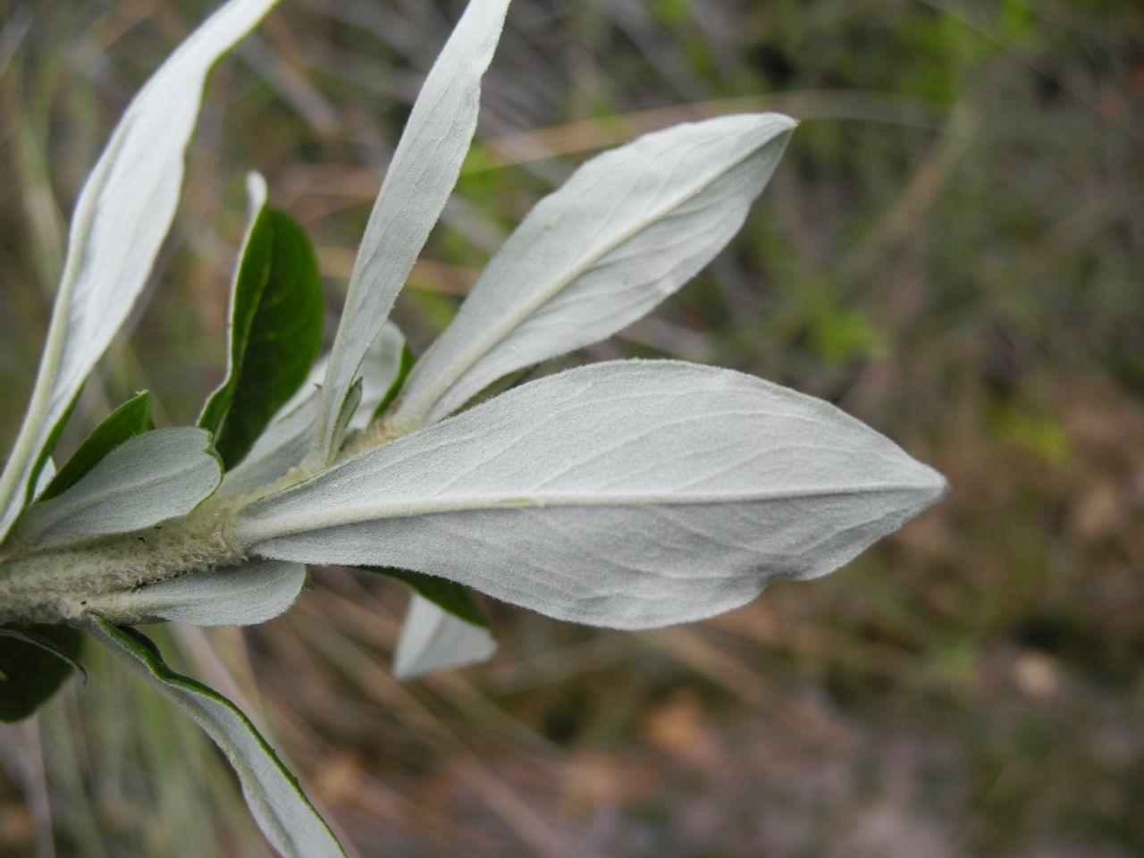 Diplostephium juajibioyi-4.jpg