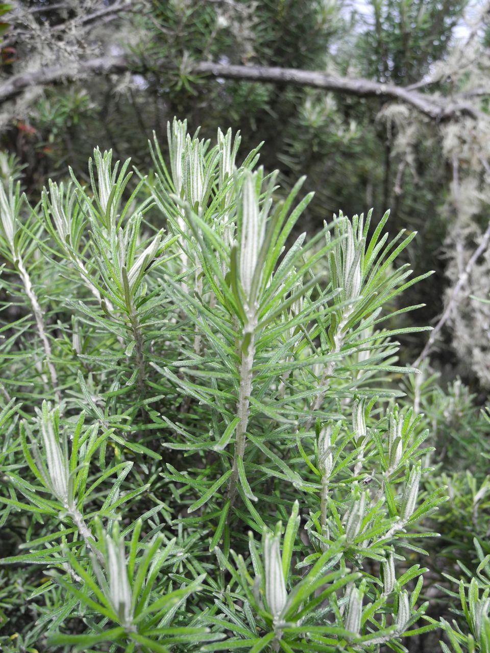 Diplostephium rosmarinifolium-20.jpg