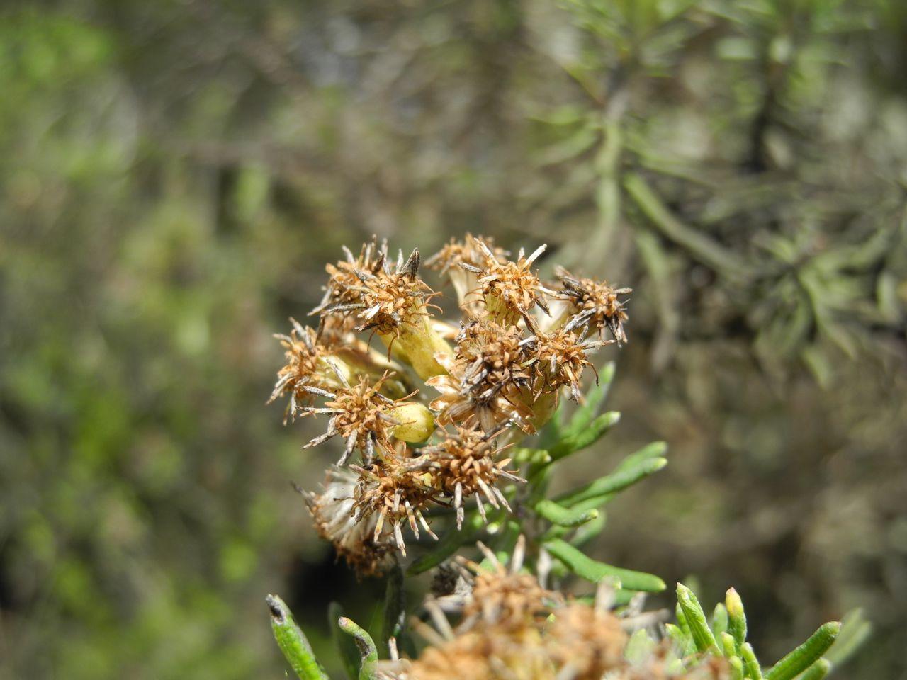 Diplostephium rosmarinifolium-26.jpg