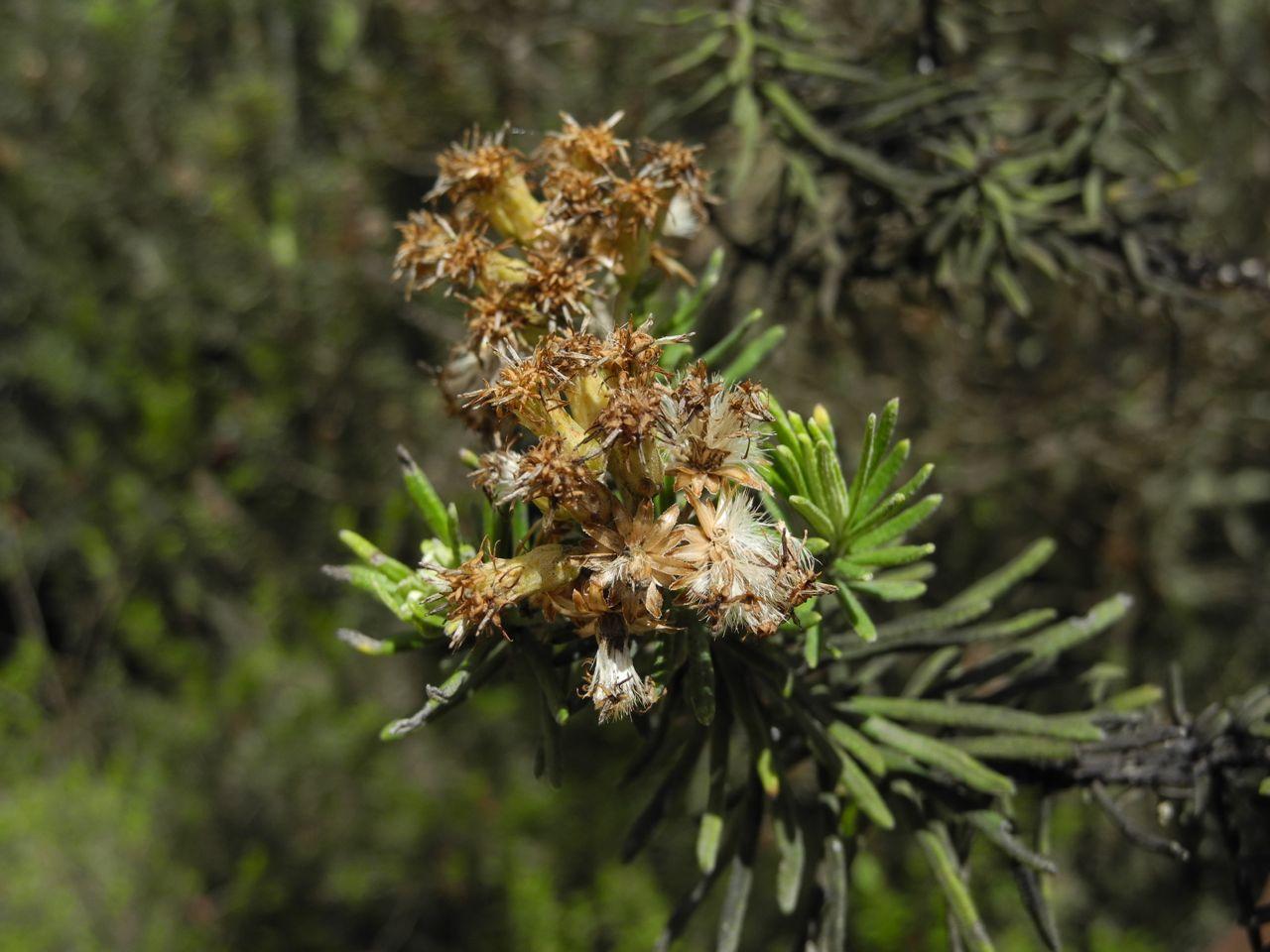 Diplostephium rosmarinifolium-27.jpg