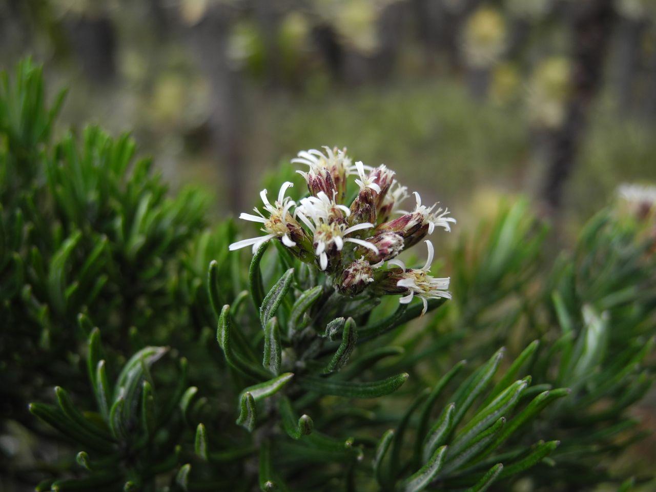 Diplostephium rosmarinifolium-Ant-12.jpg