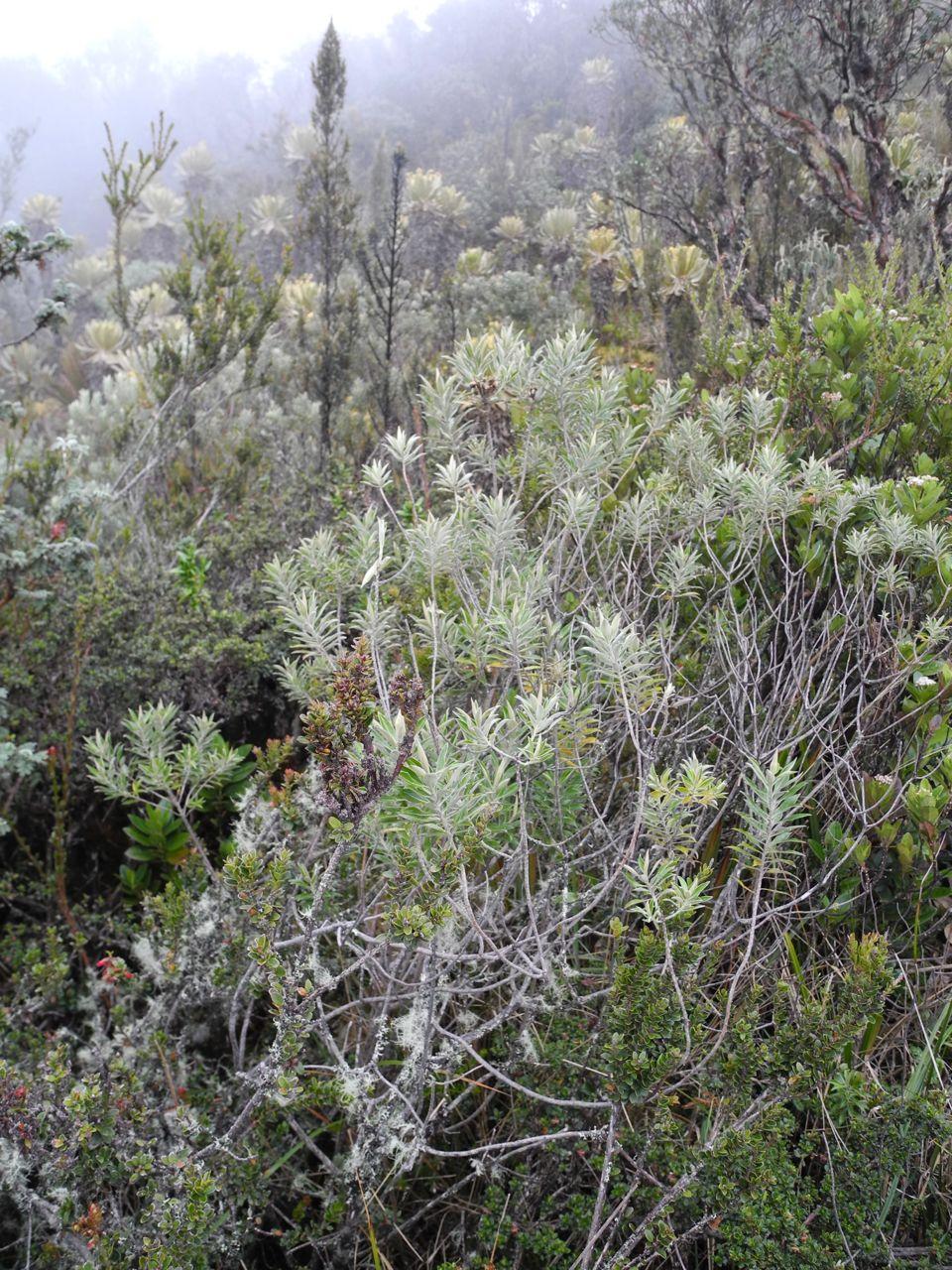 Diplostephium schultzii-Ant-16.jpg