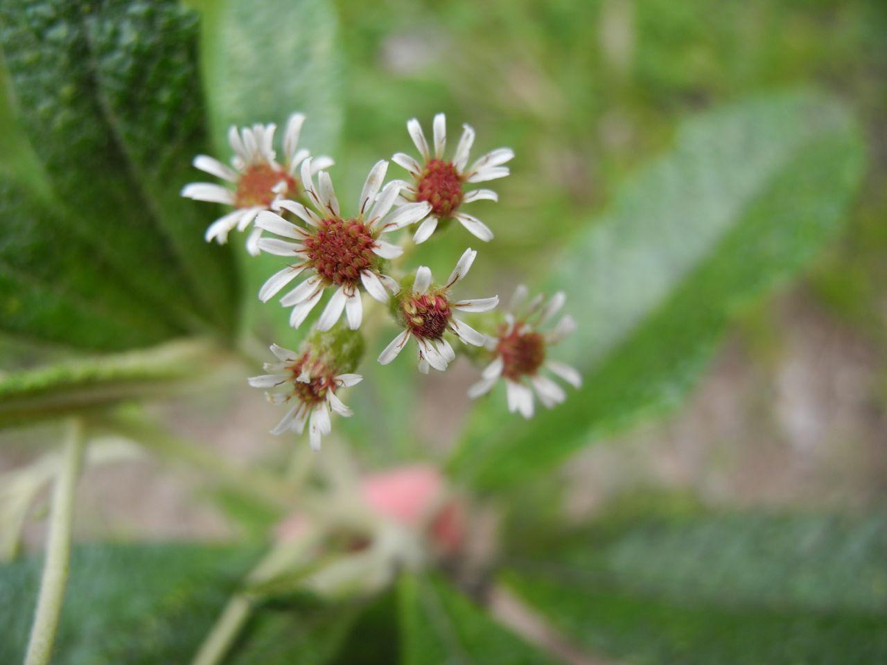 Diplostephium tenuifolium-7.jpg