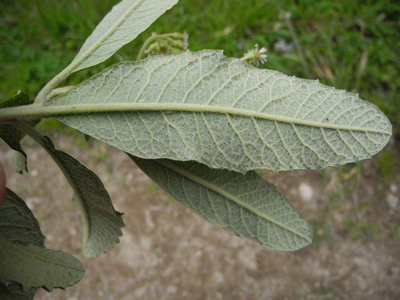 Diplostephium tenuifolium-14.jpg
