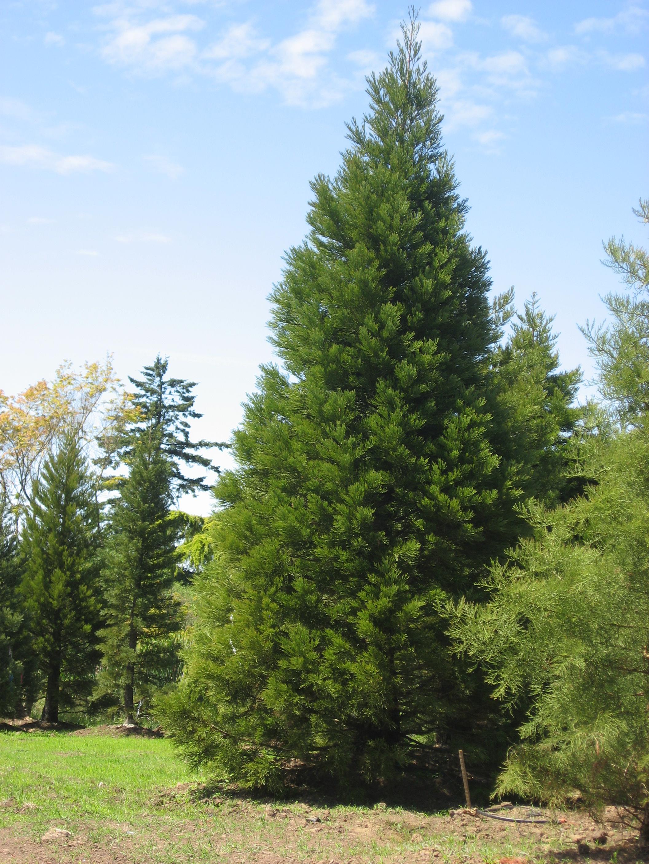 Sequoiadendron giganteum   Specimen