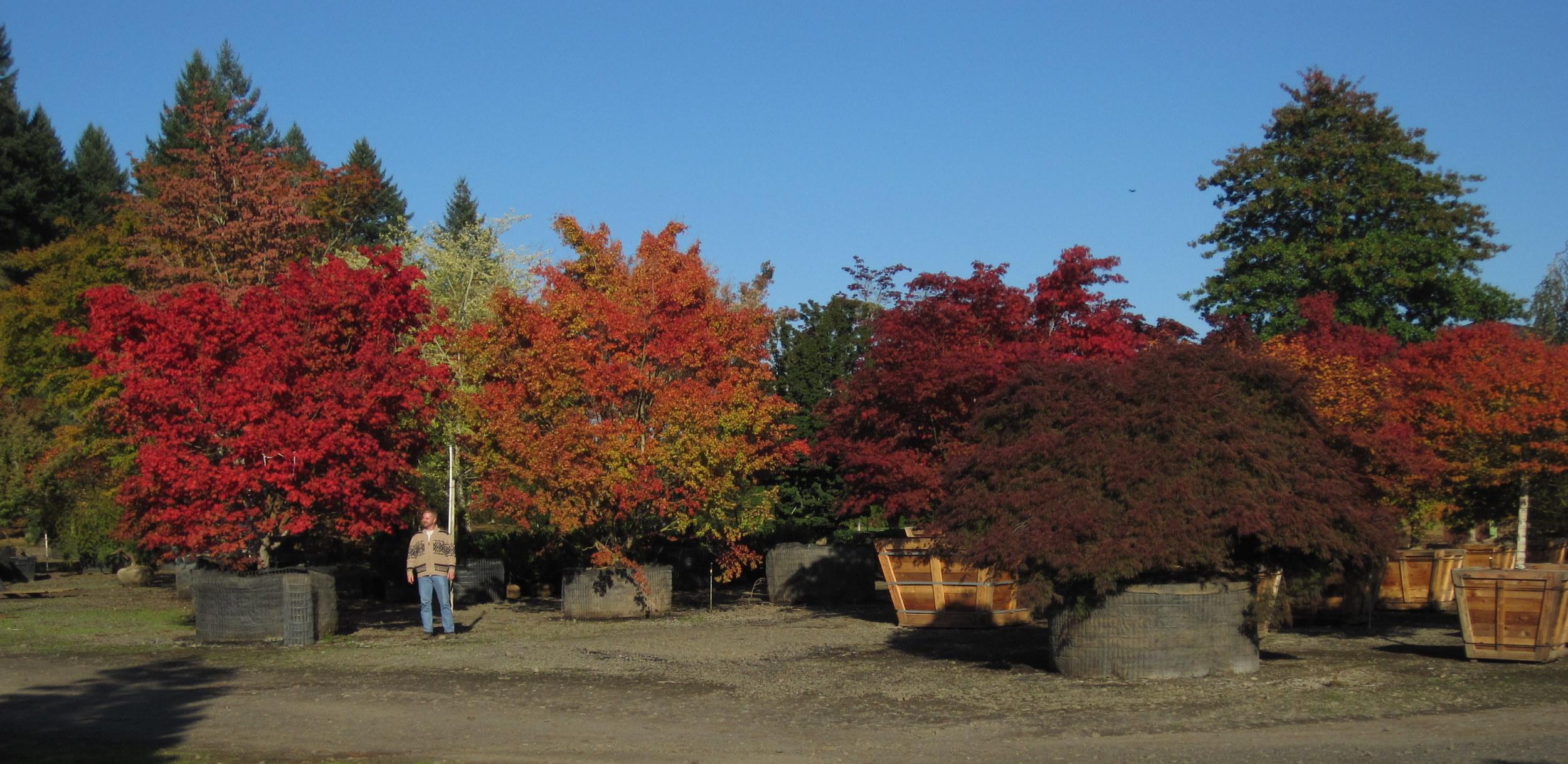 Specimen Maples