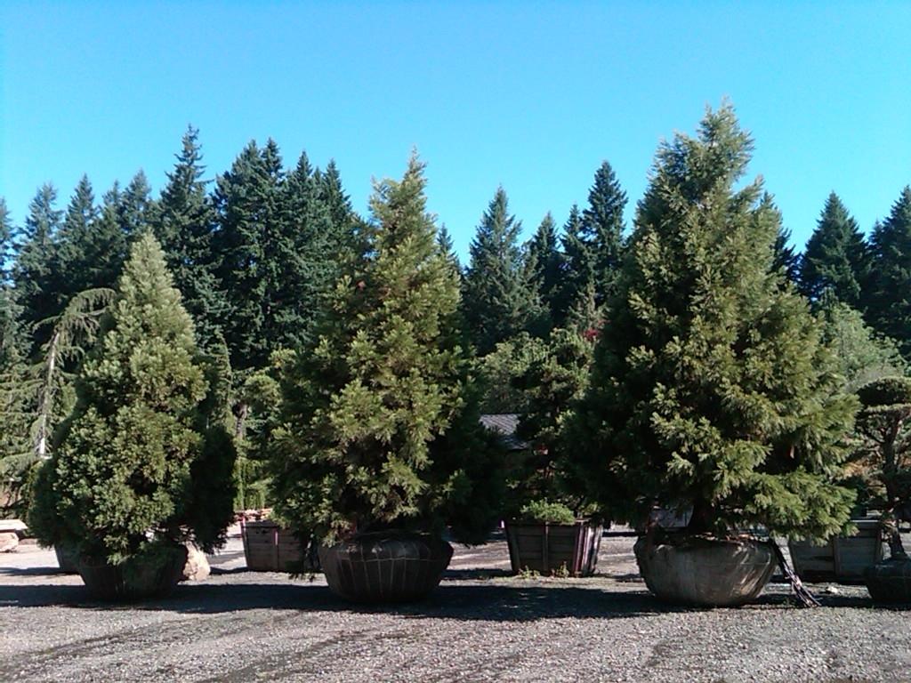 Sequoiadendron gig. Specimens