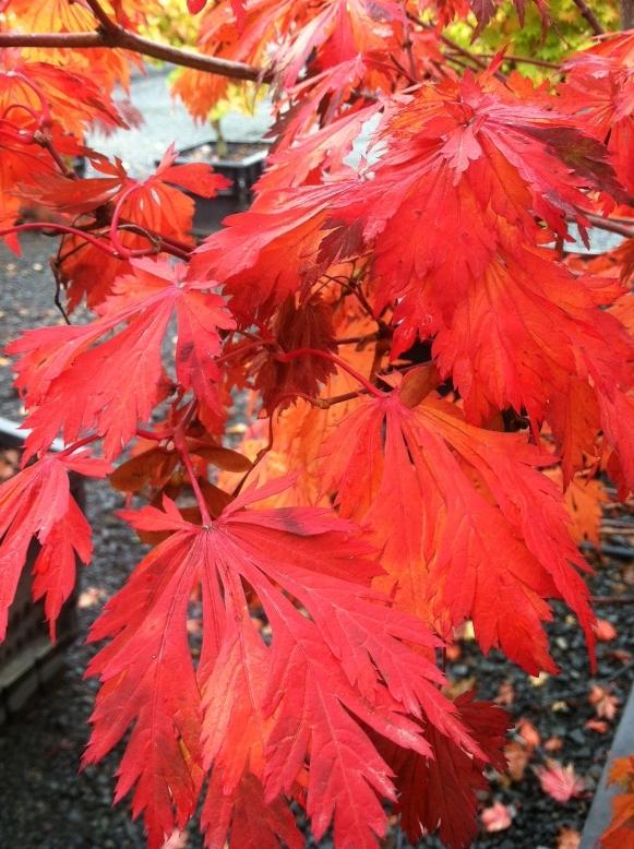 Acer j.  'Aconitifolium' Fall color