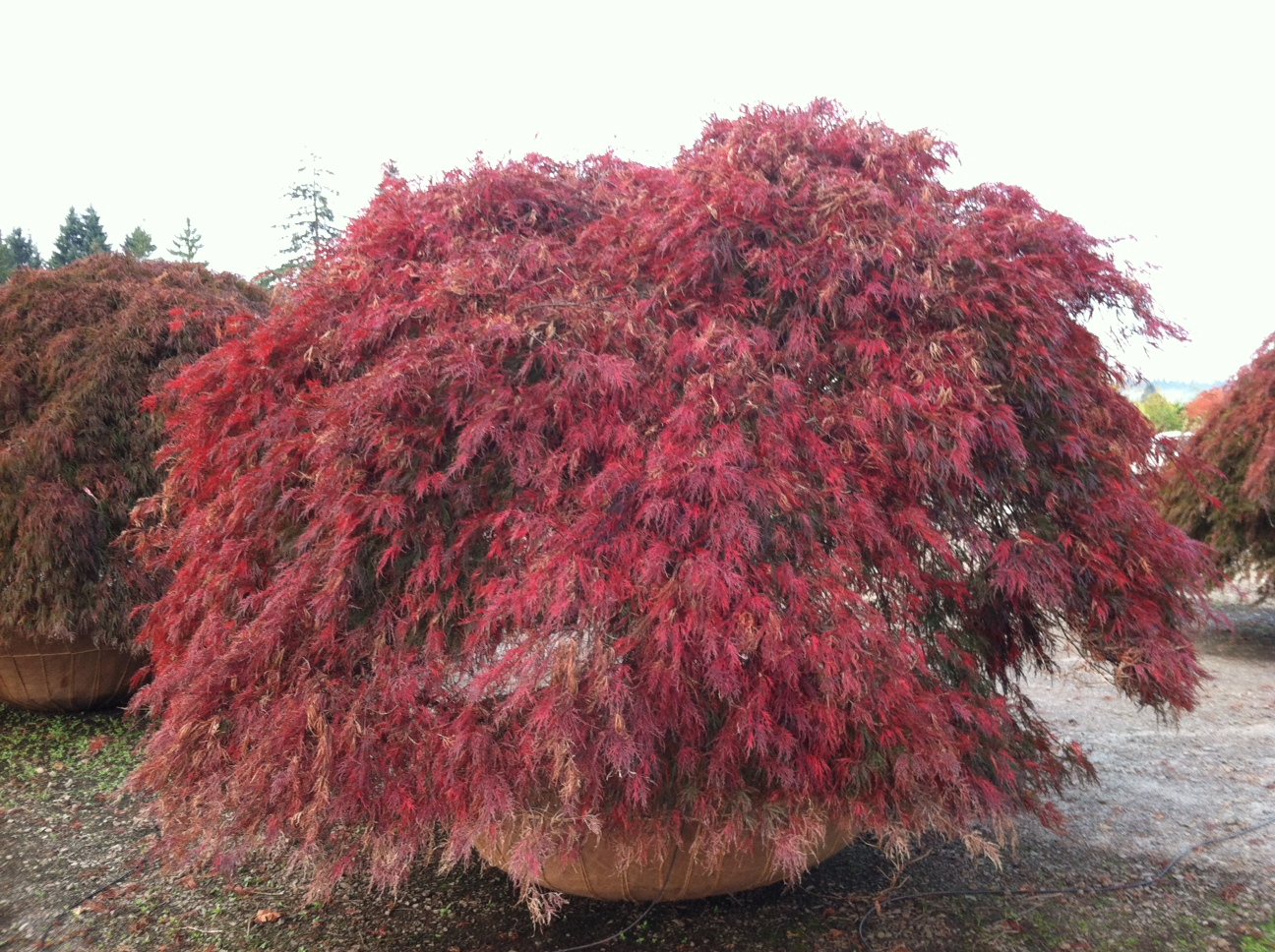 Acer p. d.  'Ever Red'