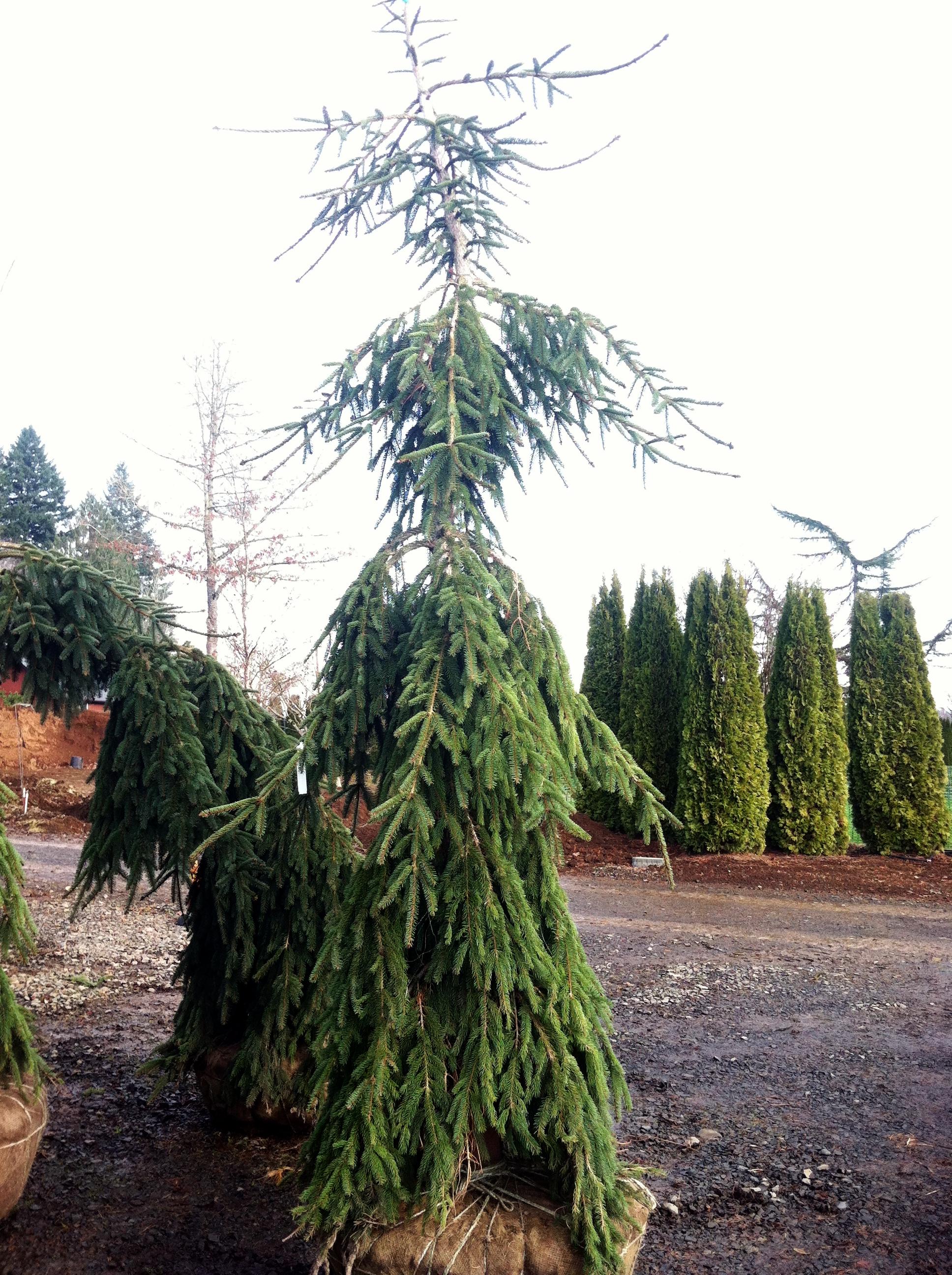 Picea abies  'Glauca' Pendula' transplant