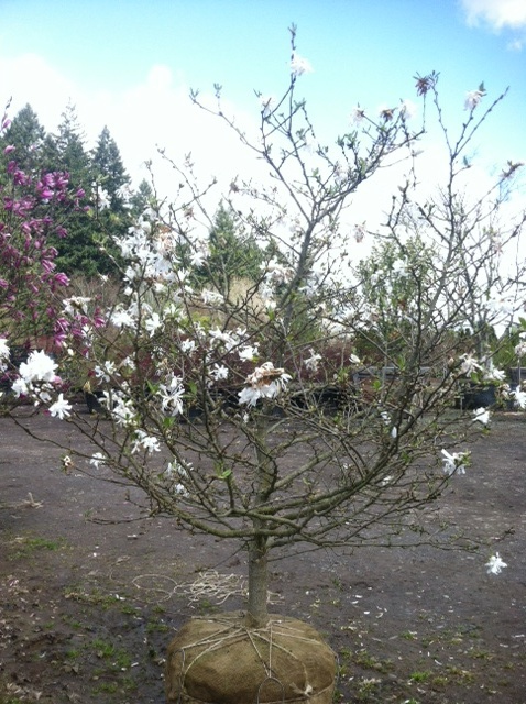 Magnolia stellata  'Royal Star' Jr. Specimen