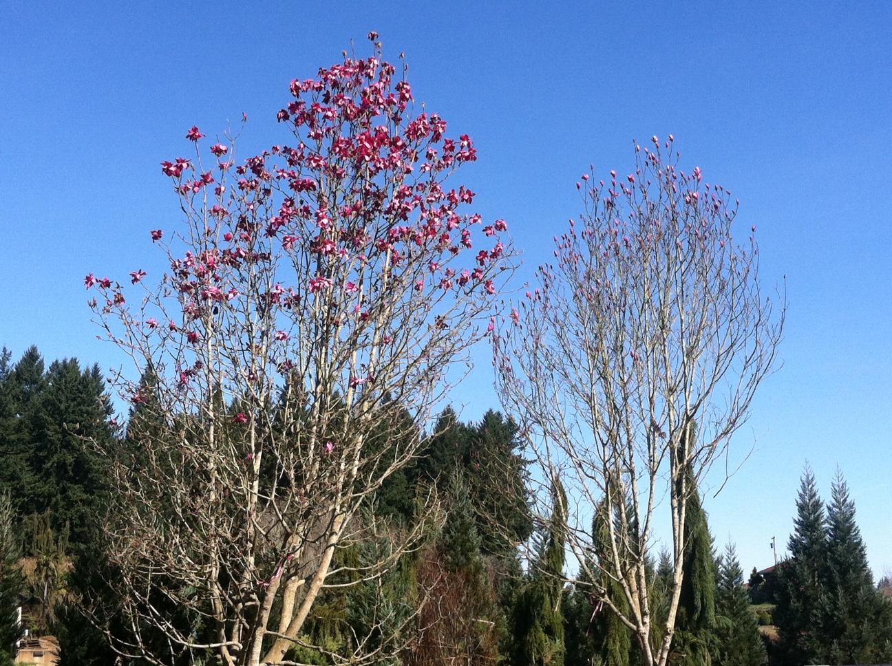 2 specimen Magnolias