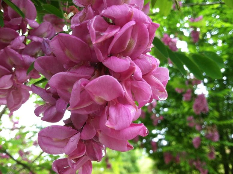 Robinia pseu.  blooms