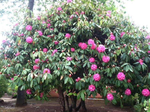 Rhodo . 'Lady Eleanor Cathcart' specimen