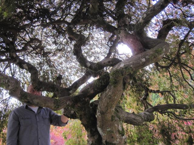 Inner canopy of specimen maple