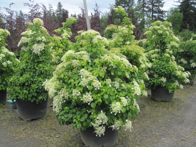 Hydrangea an. petiolaris