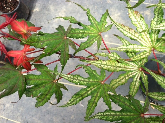 Ghost series leaf transitions