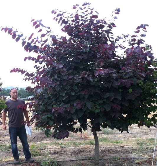 Cercis can . 'Forest Pansy' SPEC