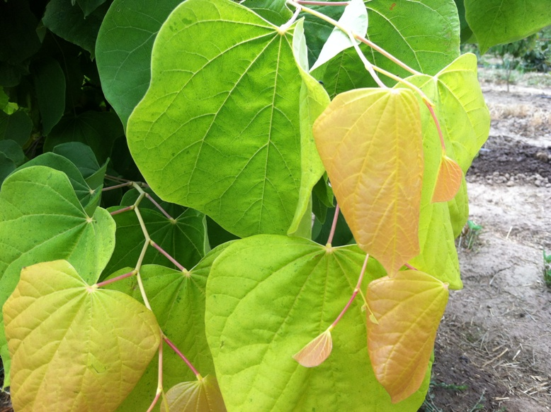 Cercis can.  'The Rising Sun' leaf close-up