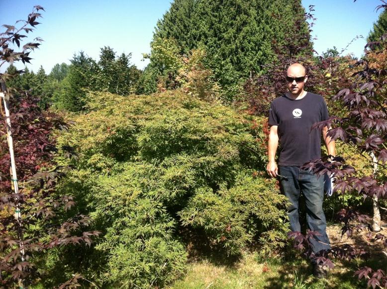 Acer jap.  'Green Cascade' specimen, side view (tiered)