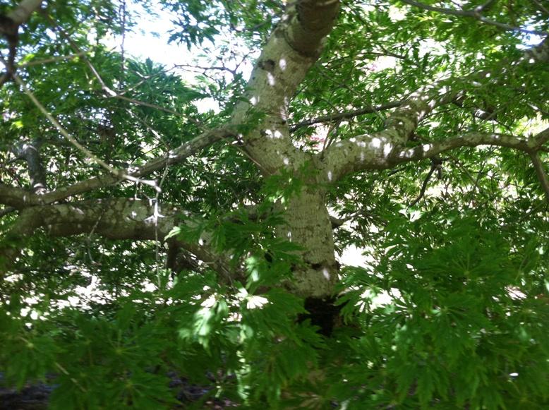 Acer jap.  'Green Cascade' trunk & branch detail