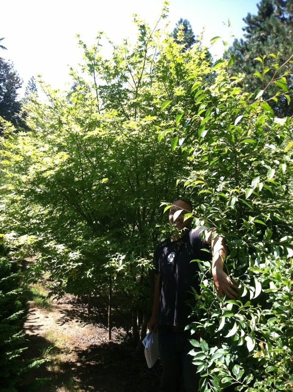 Acer palmatum  'Peaches and Cream' specimen