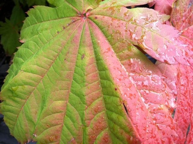 Acer jap.  'Vitifolium' fall color