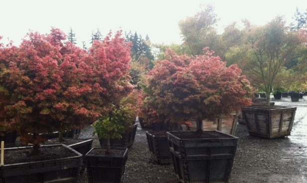 Freshly dug maples being potted up at our nursery.