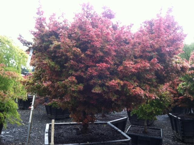 Acer p.  'Coonara Pygmy' specimen. Approx 5/6'H x 7/8'W