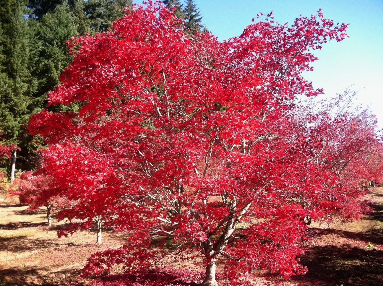 Acer p.  'Sherwood Flame' Specimen