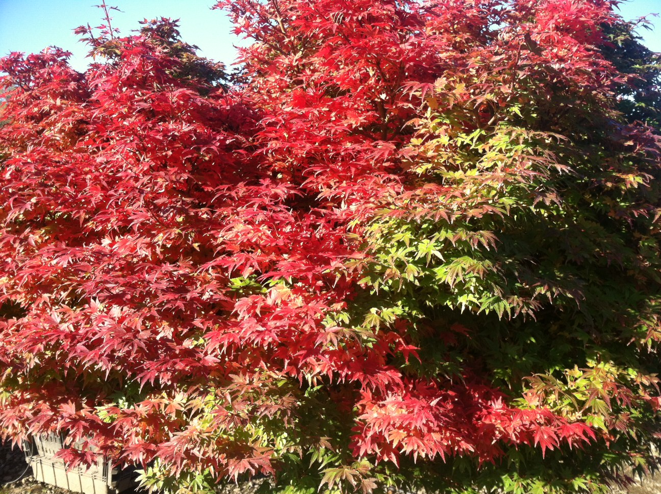 Fall color on Coonara Pygmy maples