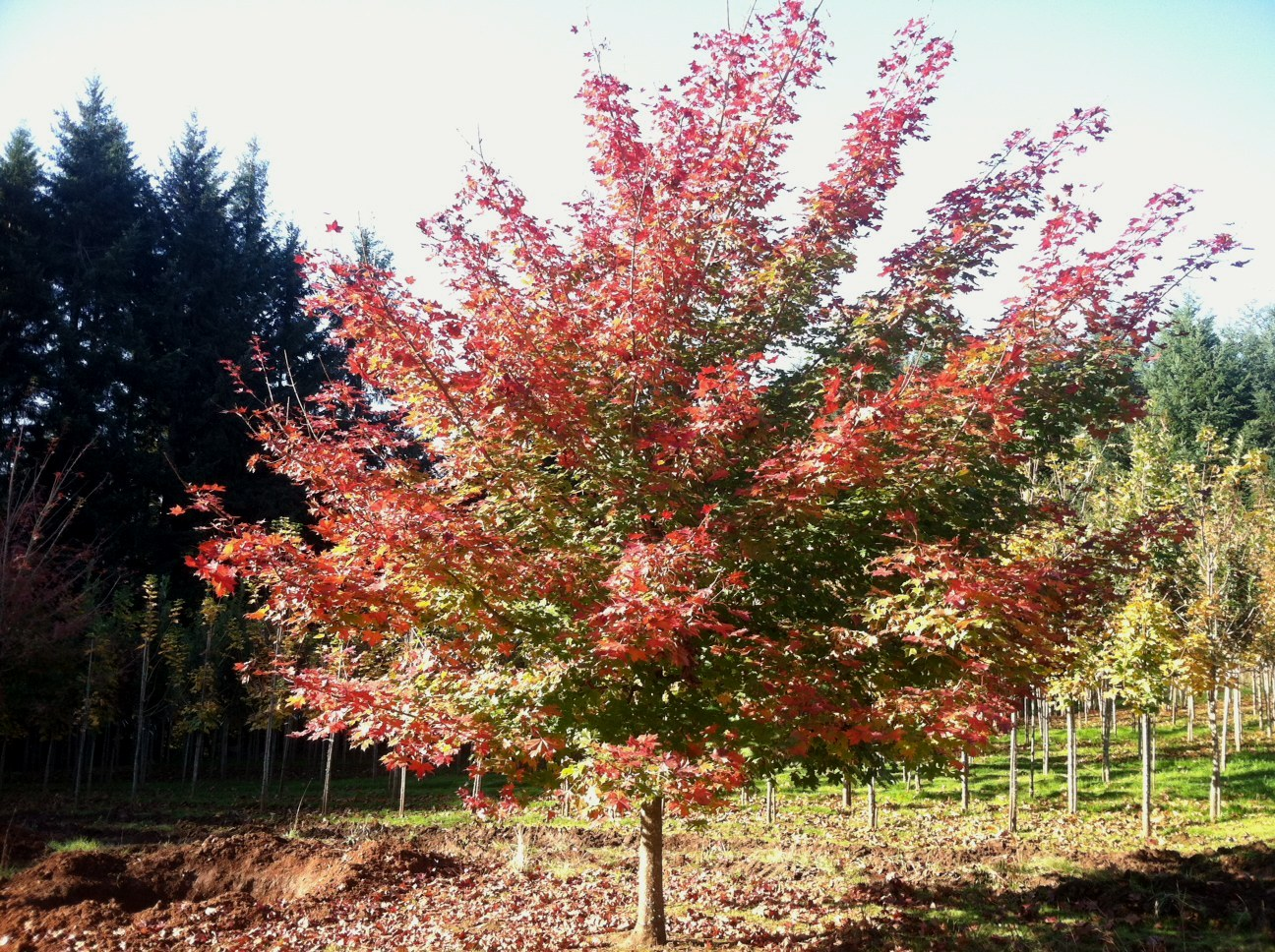 Acer truncatum x Acer platanoides  'Keithsform' (Norwegian Sunset Maple) Specimen