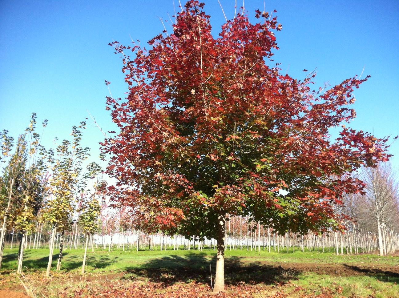 Acer trunc. x Acer plat . 'Keithsform (Norwegian Sunset Maple)  Specimen