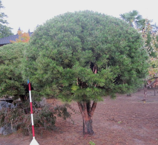 Pinus densiflora  'Umbraculifra' sheared specimen