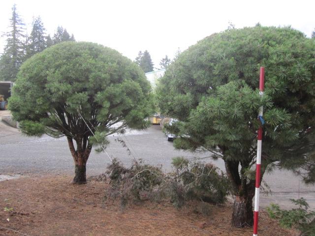 Pinus dens.  'Umbraculifera' specimens