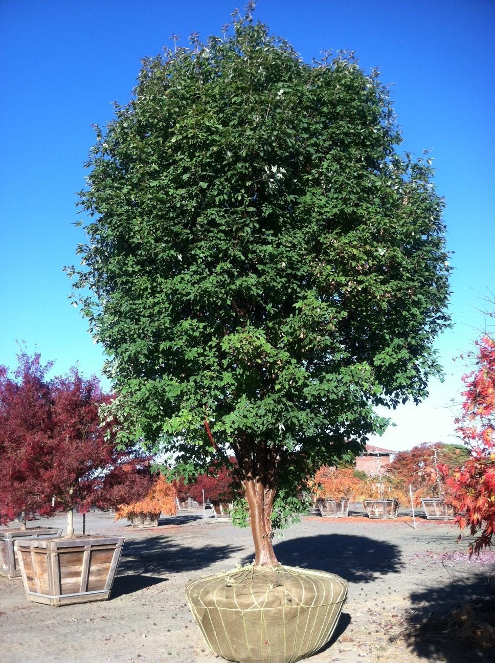 Acer griseum  specimen