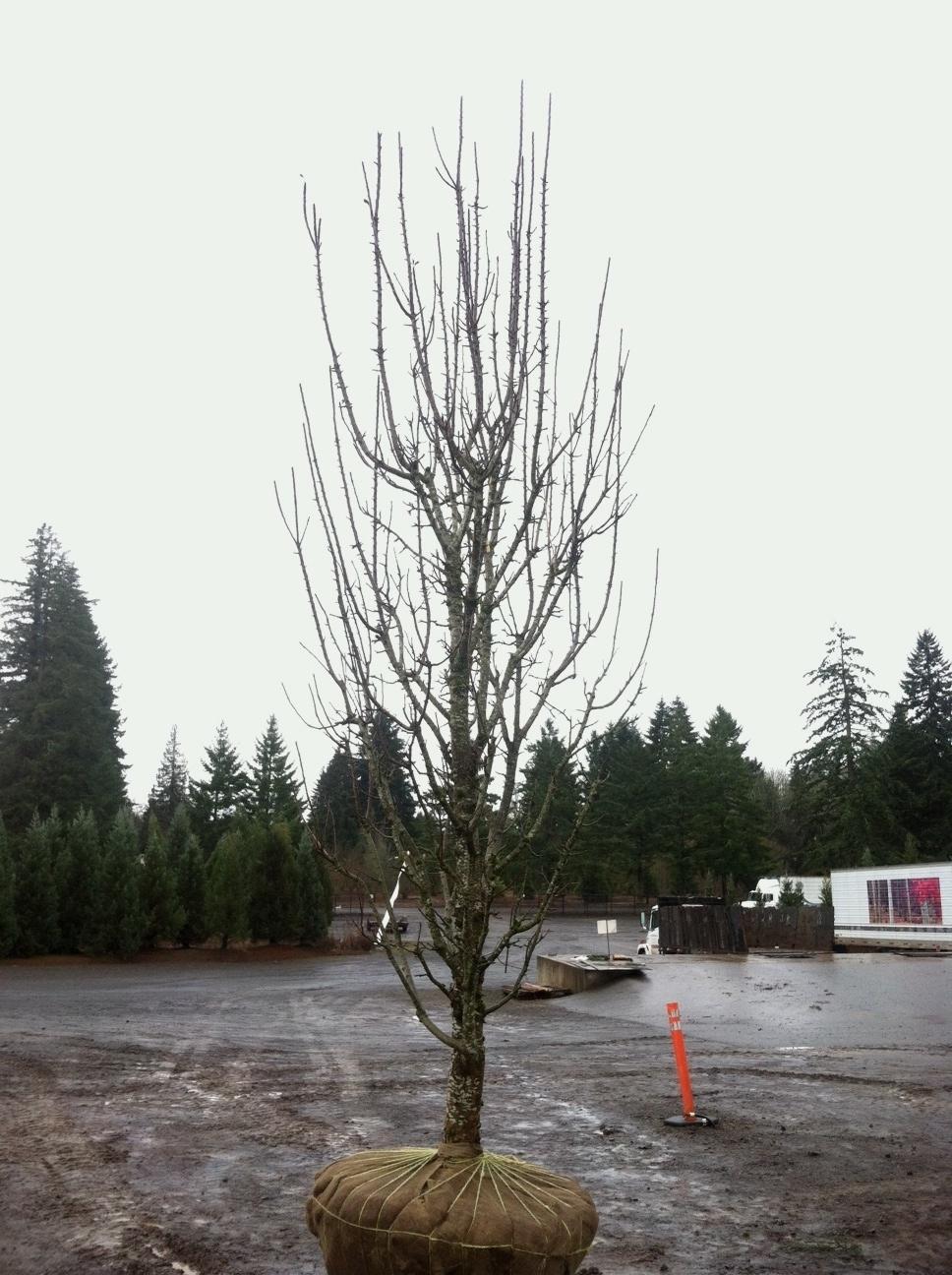 Columnar Apple Tree 'Scarlet Sentinel' specimen