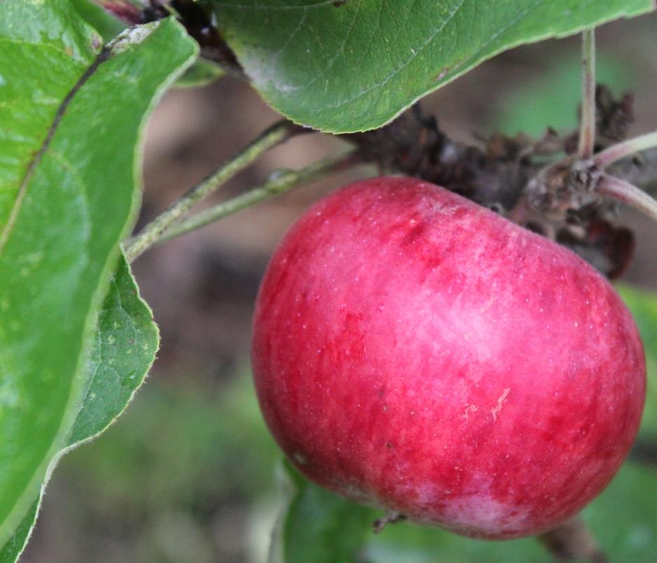 Apple 'Scarlet Sentinel' fruit