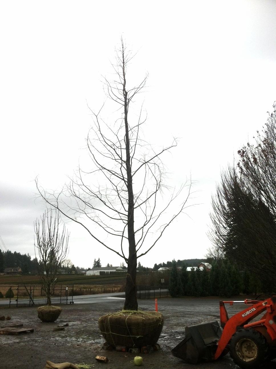 Metasequoia glyptostroboides  specimen