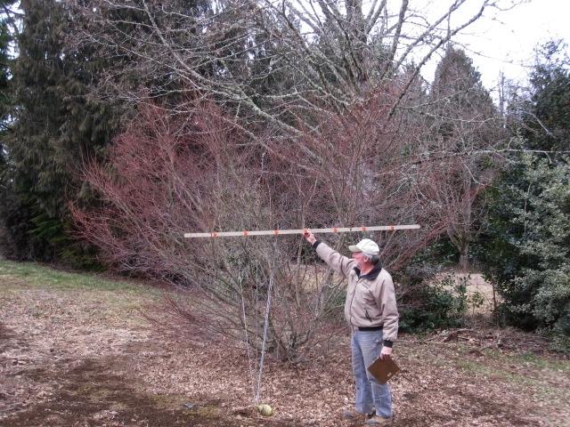 Acer palmatum , multi  Specimen