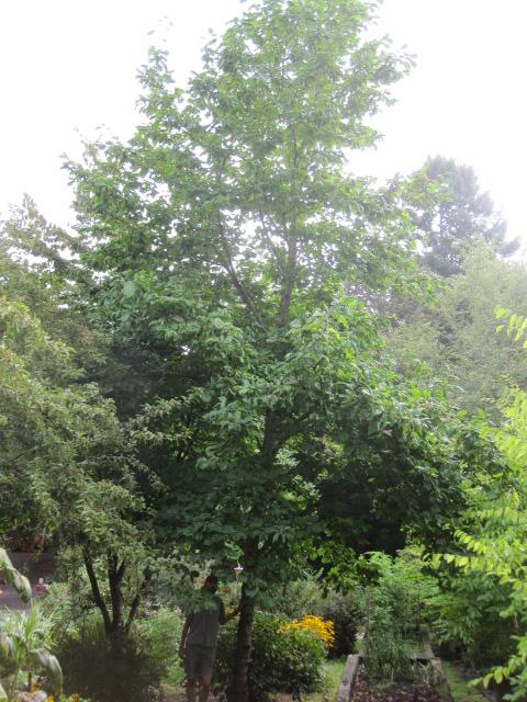 Magnolia  'Elizabeth' specimen, summer