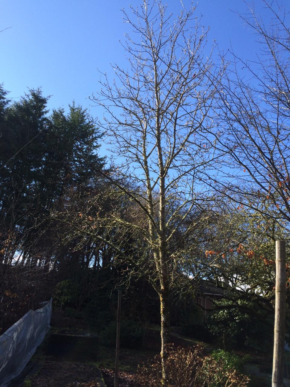 Magnolia  'Elizabeth' specimen, winter