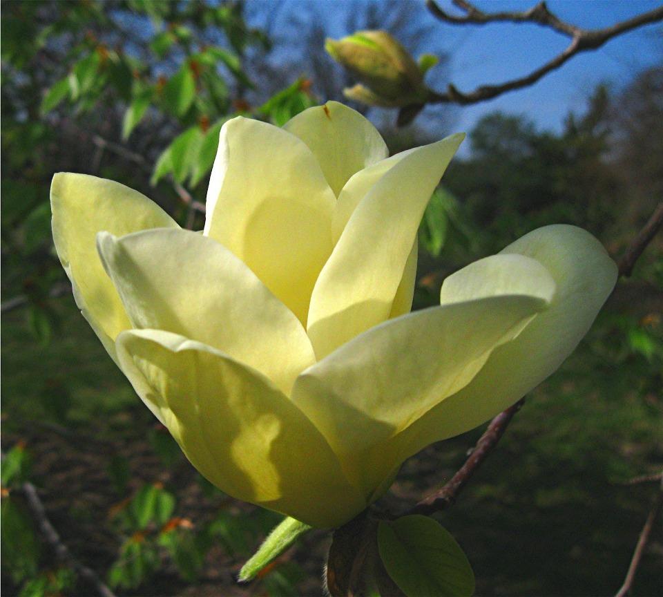 Magnolia  'Elizabeth' flower