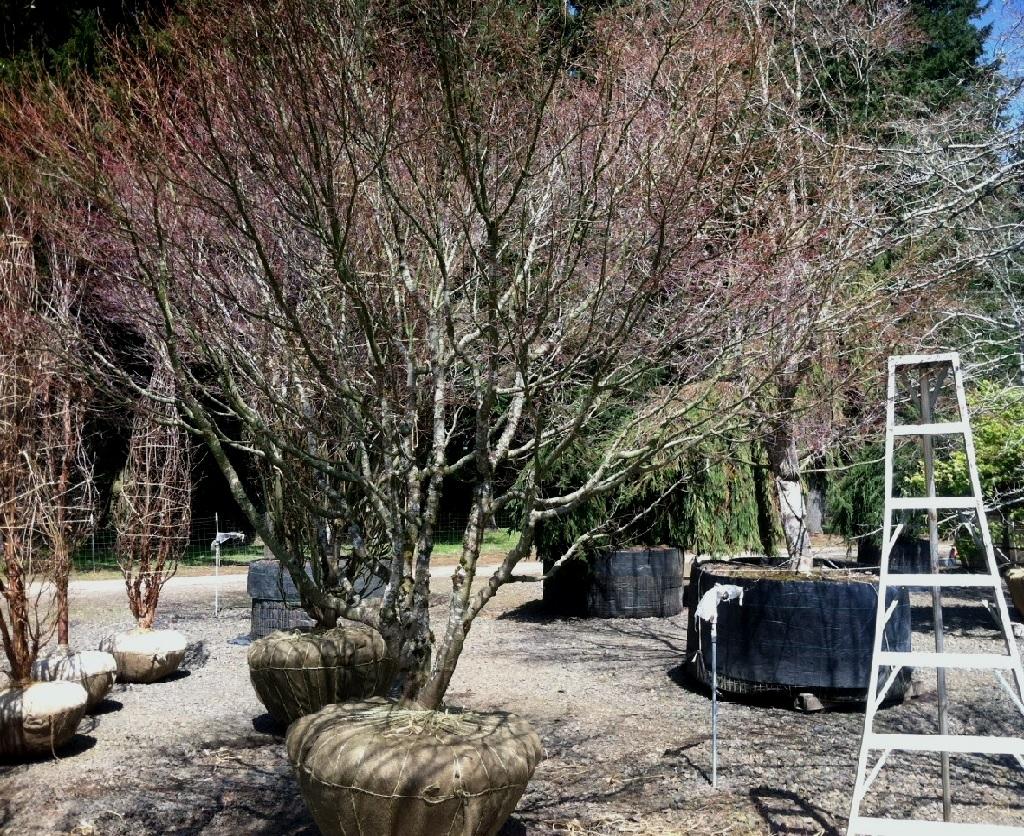 Acer palmatum , multi Specimen A