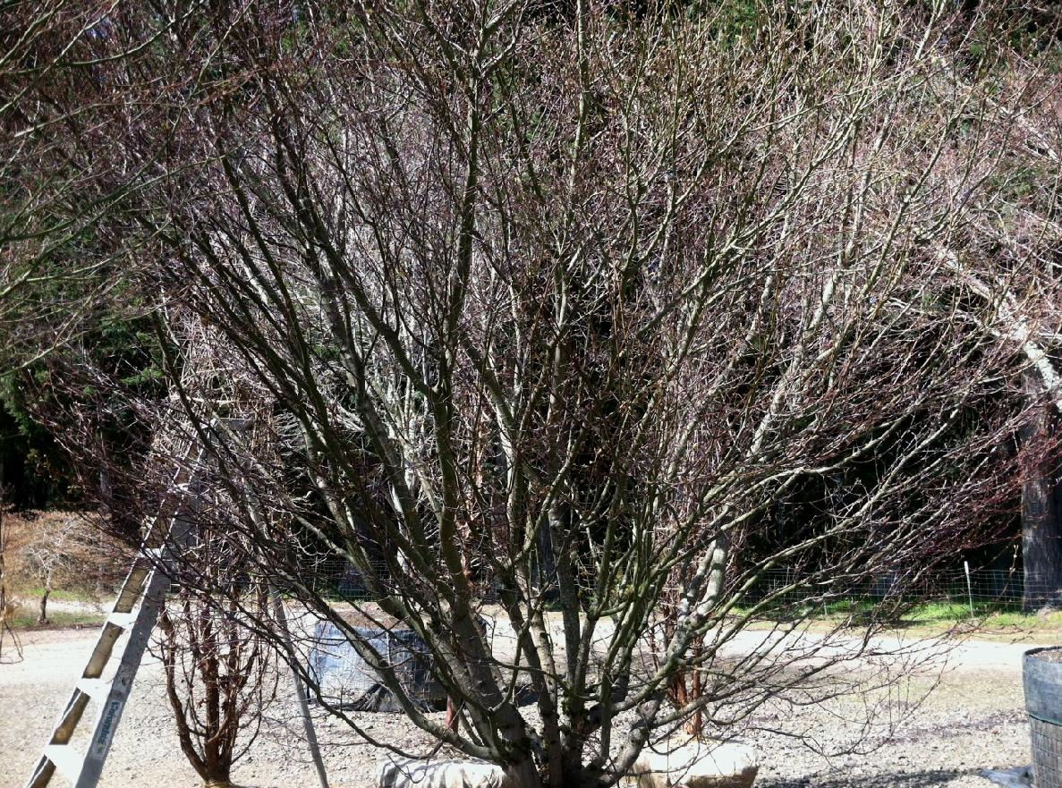 Acer palmatum , multi Specimen B