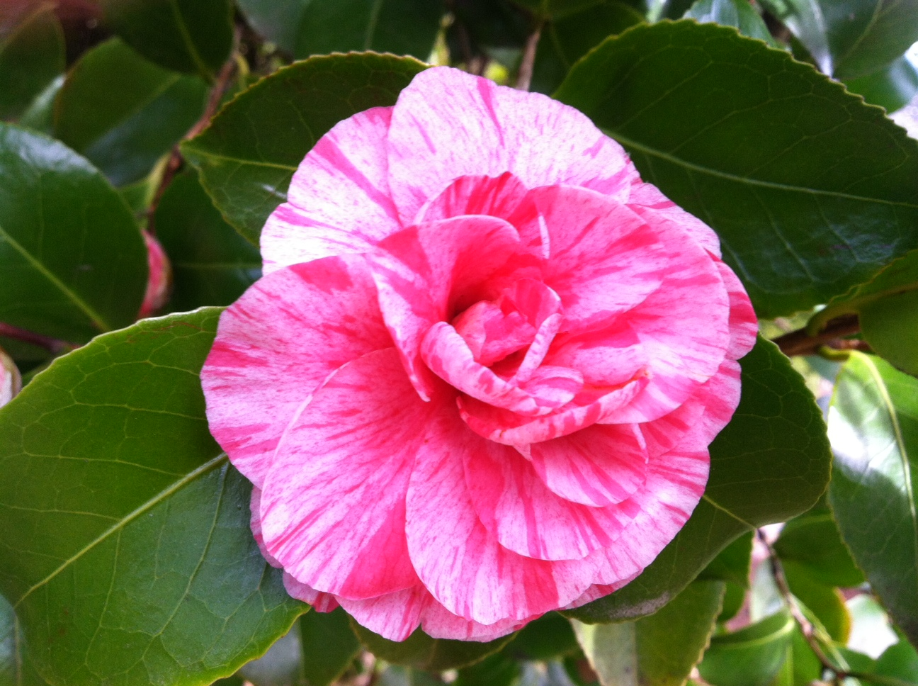 Camellia jap.  Unknown Pink/White stripe